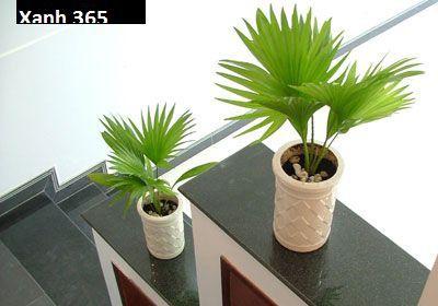 Cây Cọ Nhật trong ứng dụng trang trí nội thất