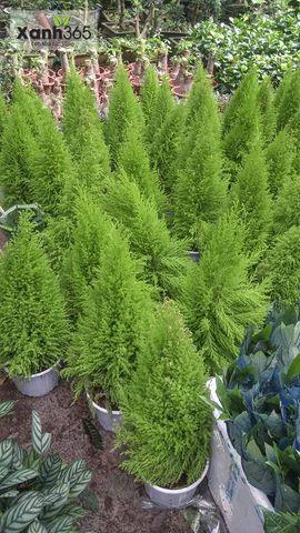 Tùng thơm được trồng và chăm sóc tại vườn Xanh 365
