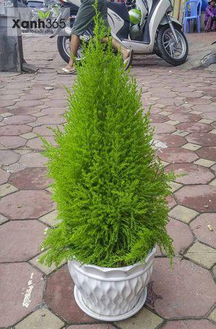 Cây tùng thơm trồng vào chậu hoặc trồng ngoài sân vườn