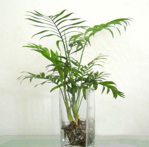 Cây cau tiểu trâm trồng thủy sinh