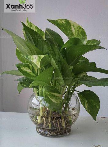 Cây Vạn Niên Thanh trồng trong nhà vệ sinh