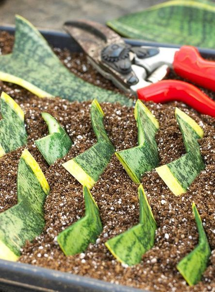 Cách trồng cây lưỡi hổ đúng kỹ thuật