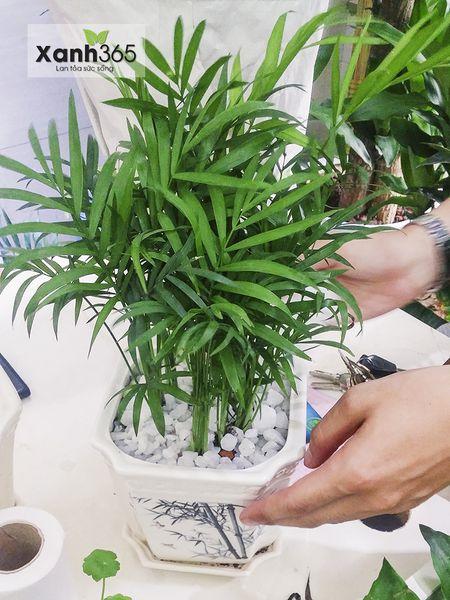 Cách chăm sóc cây cau tiểu trâm