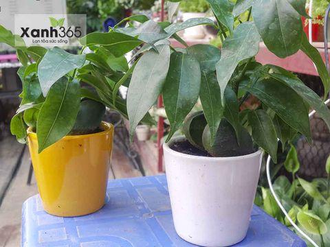 Cây Hạt Dẻ ấm trà tại Xanh 365
