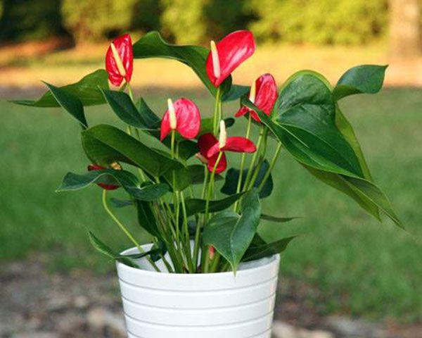 Cây hồng môn thường có hoa màu đỏ thắm, màu hồng hoặc vàng...