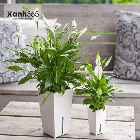 cây Lan Ý được ứng dụng trong trang trí nội thất