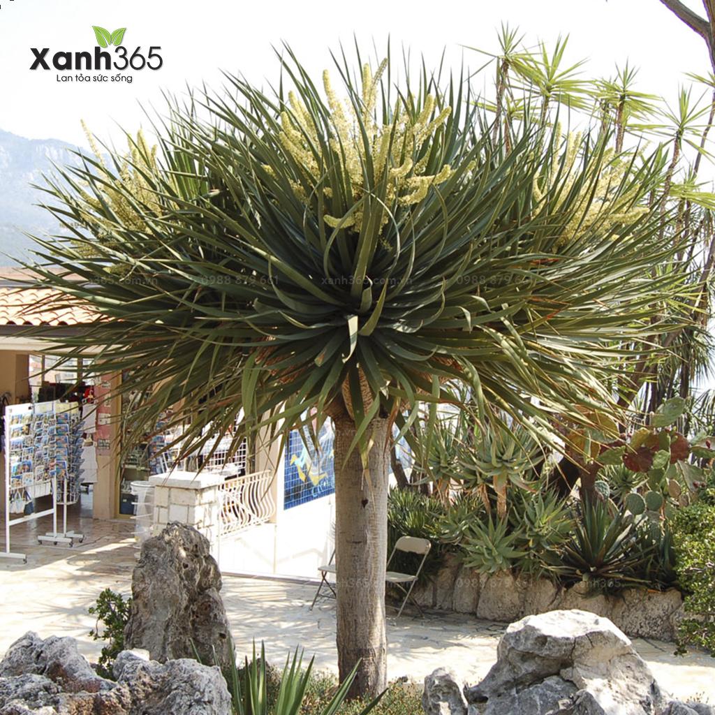 Cây phát tài núi là loài cây sinh trưởng mạnh, thân to, phát triển nhanh.