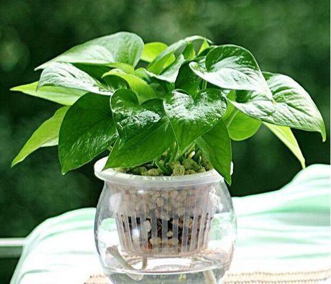 Kỹ thuật trồng cây trầu bà thủy canh dùng giỏ nhựa