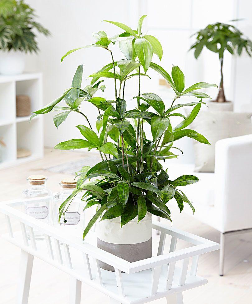 Cây Trúc Nhật có thể nhân giống, lai tạo để làm cây để bàn đẹp và sang trọng.
