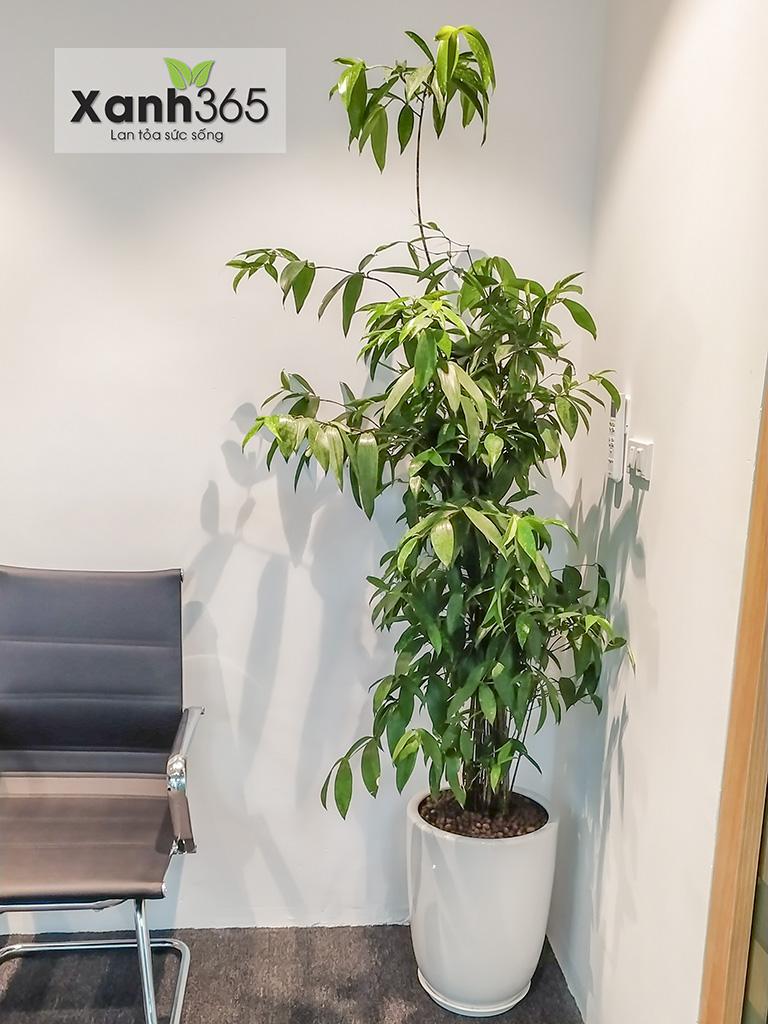 Người ta thường đem trúc Nhật làm quà mừng tân gia, khi khai trương cửa hàng, văn phòng...