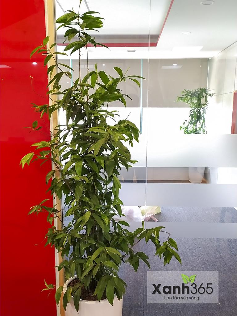 Trúc Nhật thích hợp để đặt trang trí tại cửa văn phòng, tiền sảnh hoặc phòng khách gia đình