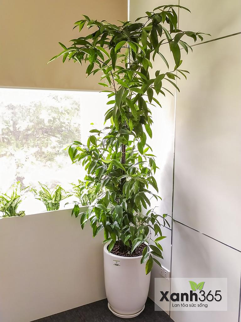 cây Trúc Nhật có sức sống rất mãnh liệt, vì thế bạn không cần phải dành quá nhiều thời gian chăm sóc cho cây