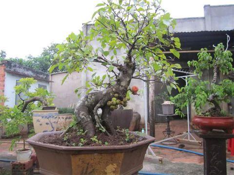 Ý nghĩa của 5 loại cây trang trí nhà dịp tết