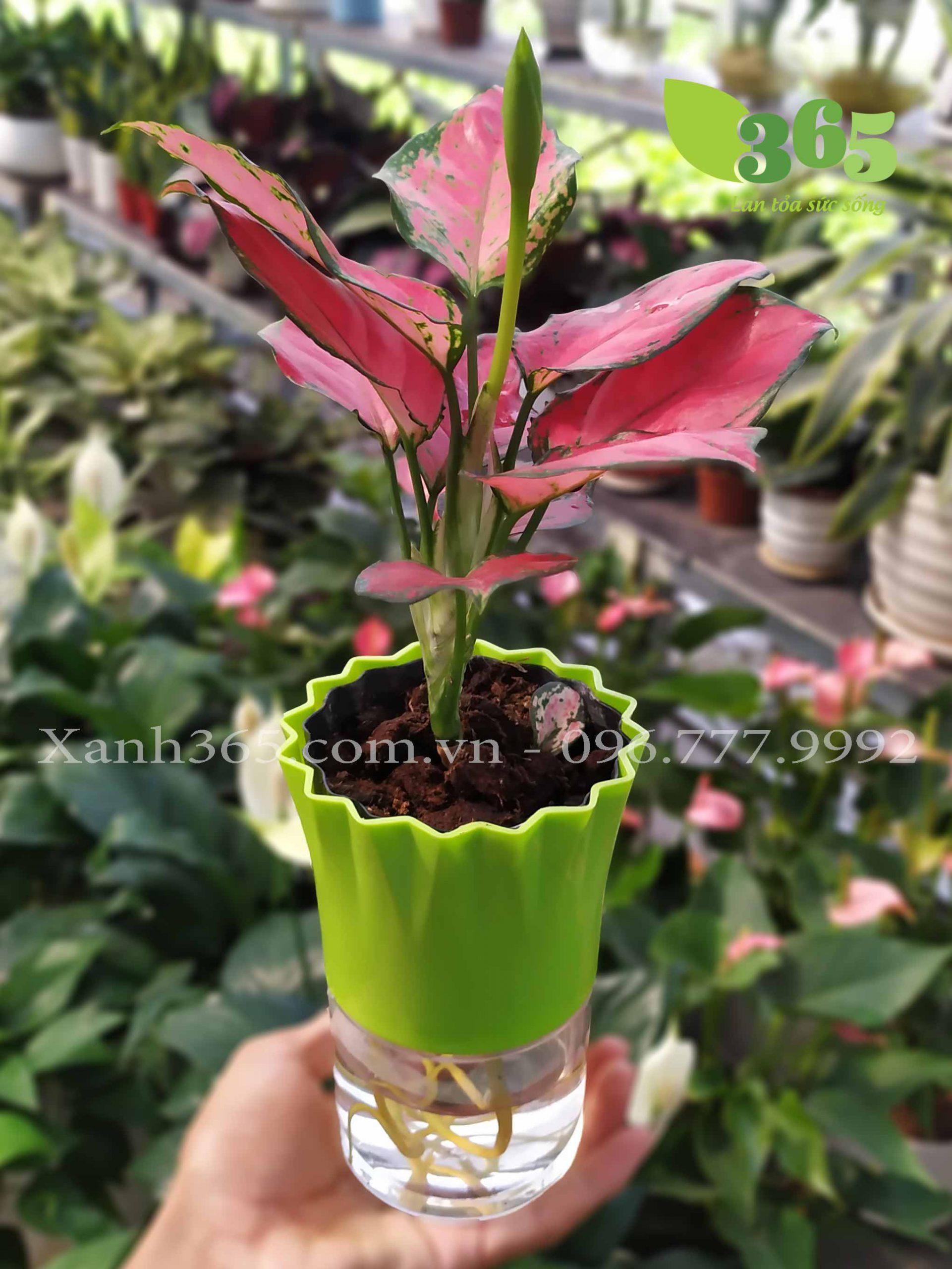 cây Vạn Lộc trồng thủy sinh