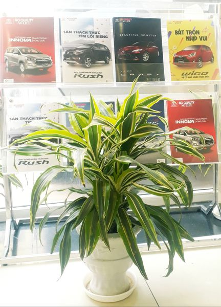 Toyota thuê cây cảnh tại Xanh 365