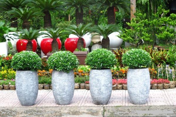 Cây mai vạn phúc trồng chậu trang trí sân nhà