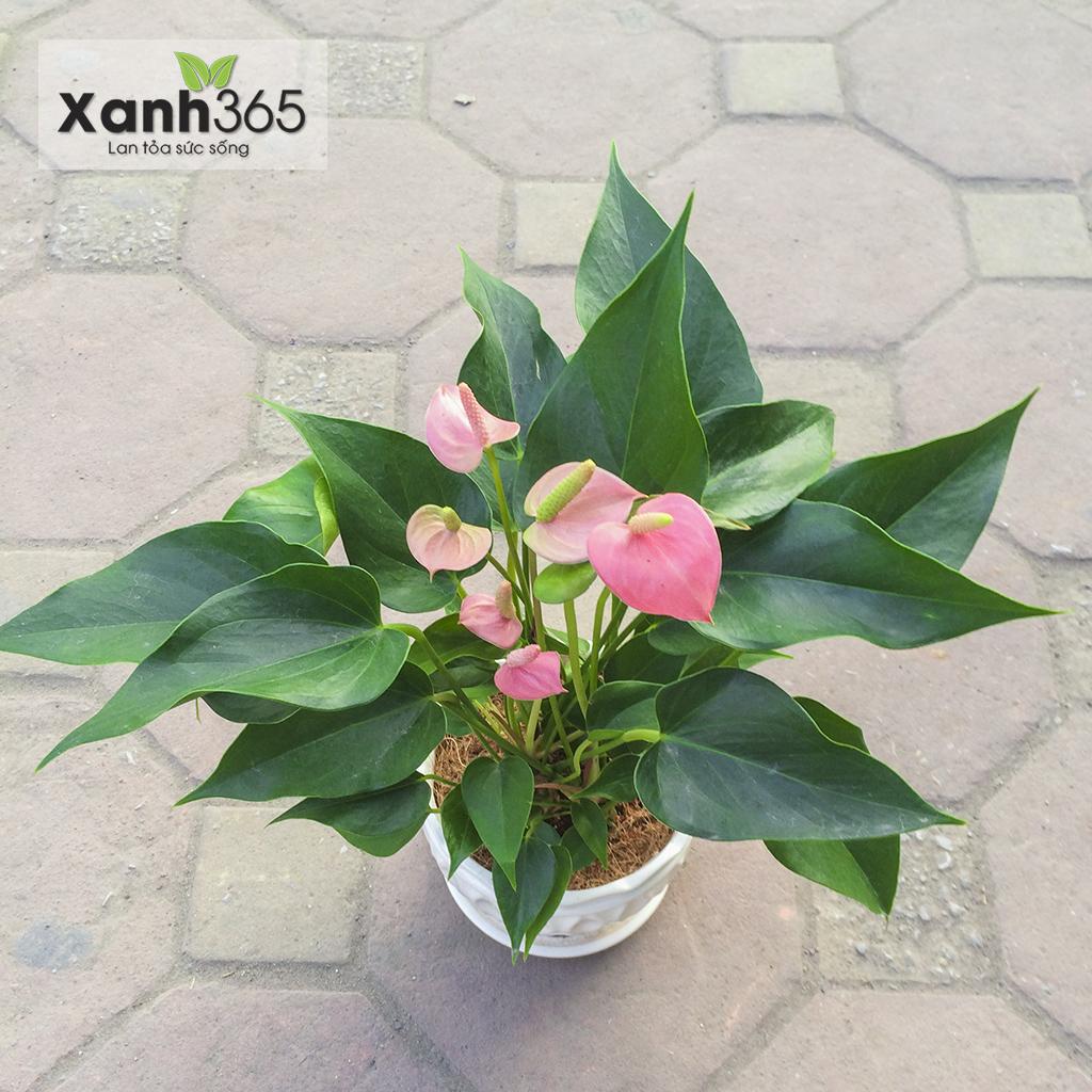 Có thể trồng cây từ gieo hạt, tách chiết cây con từ cây mẹ hoặc nhân giống bằng phương pháp nuôi cấy mô từ lá.