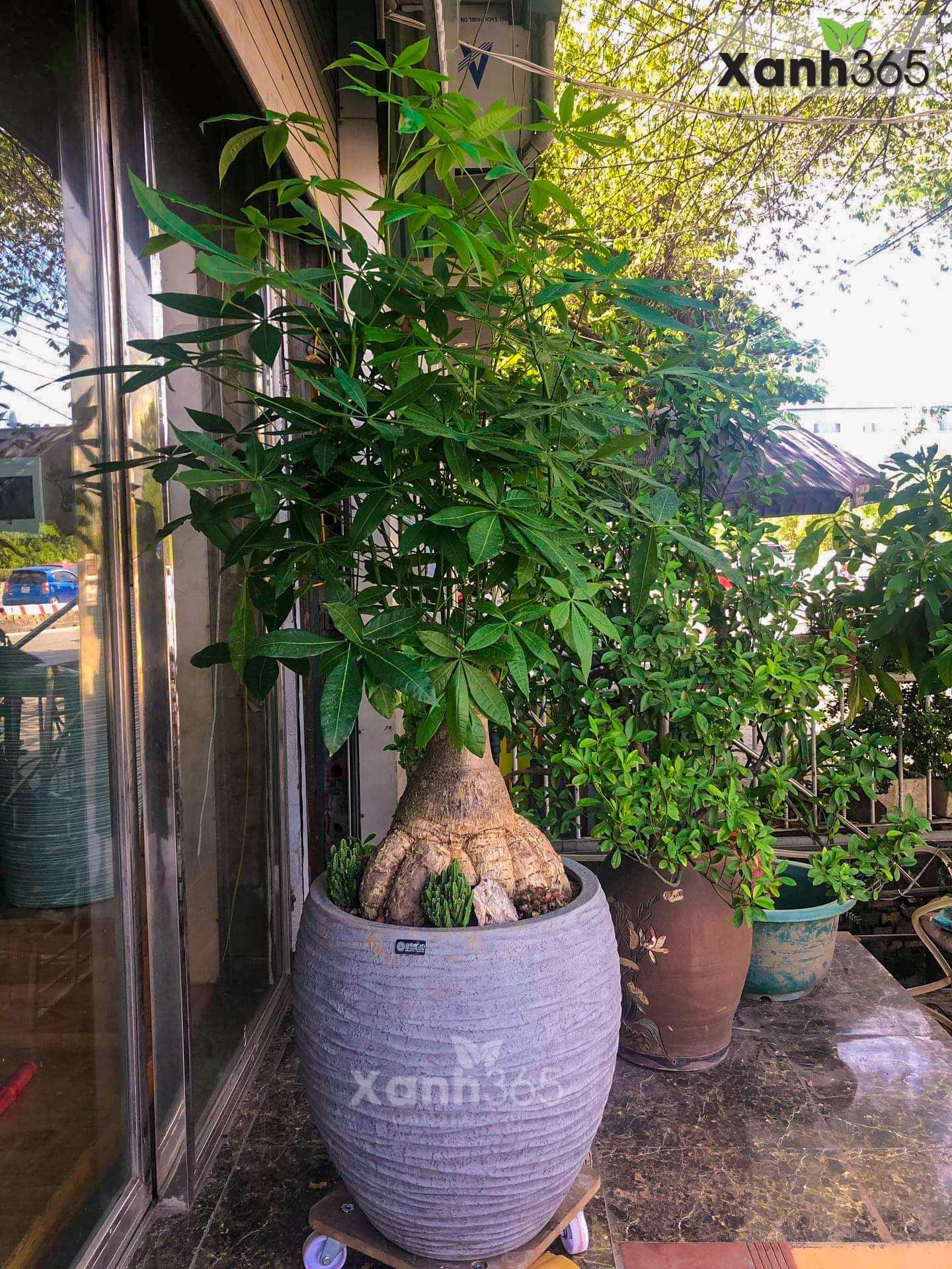Cây Kim ngân cổ thụ trồng chậu Composite