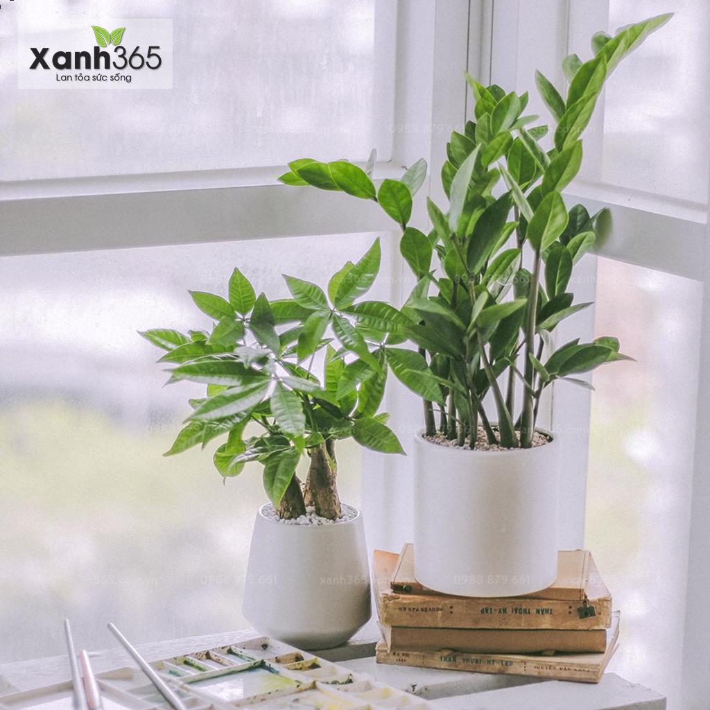 Cây Kim Tiền có thể sử dụng như cây để bàn nhỏ xinh rất sang trọng, trang nhã.