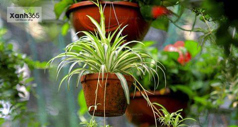 Cỏ Lan Chi ứng dụng trồng trong chậu treo tại các quán cafe, nhà hàng