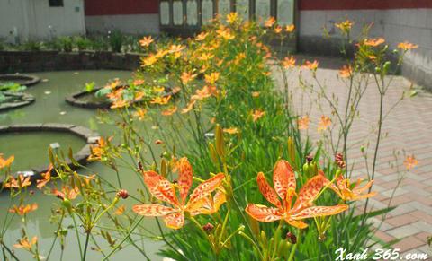 Cây Lan Rẻ Quạt trồng trong sân vườn