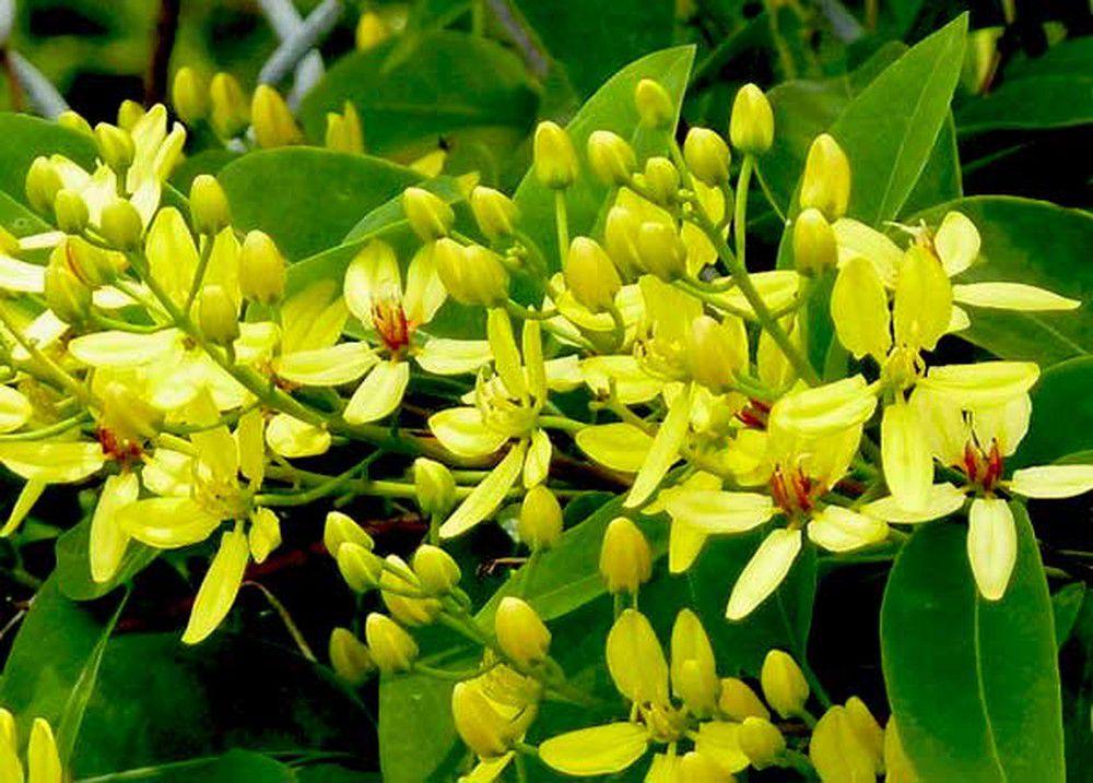 Cây hoa mai hoàng yến - cây hoa leo