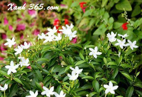 Hoa mai vạn phúc trắng tinh khôi