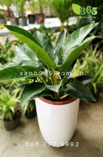 Đặc điểmsinh học của cây trầubà đế vương xanh