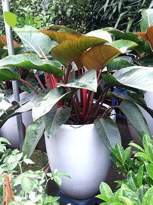 Kỹ thuật trồng cây trầu bà đế vương đỏ