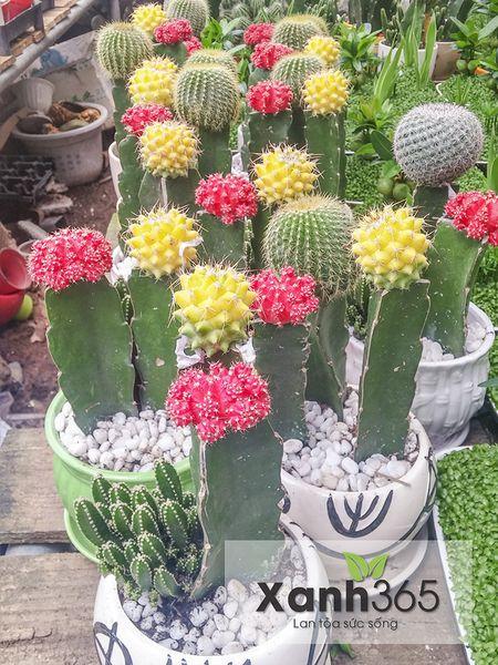 Hoa xương rồng có nhiều màu sắc sặc sỡ
