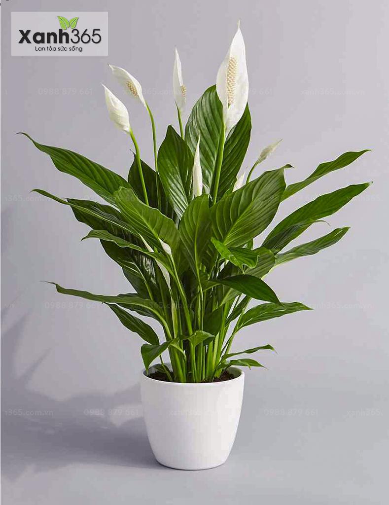 Cây Lan Ý với vẻ đẹp sang trọng và trang nhã được ưa chuộng trong trang trí nội thất