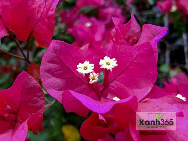 Màu hồng tím của hoa giấy làm nổi bật khu vực trang trí
