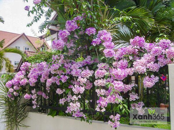Cây hoa leo tạo thành vườn tường tự nhiên bắt mắt