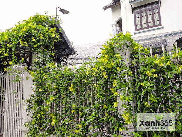 Hoa Mai hoàng yến leo khắp vòm cổng và tường rào