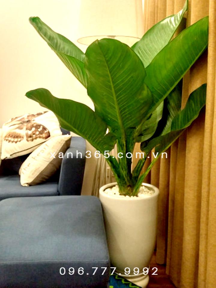 Cây Đại Phú Gia trang trí phòng khách