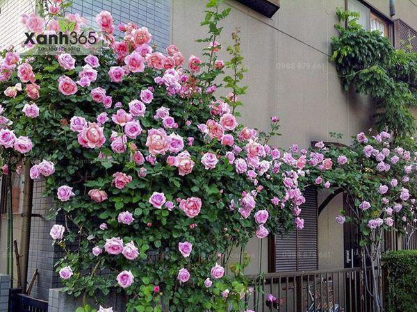 Ngôi nhà hoa hồng mơ ước của nhiều người