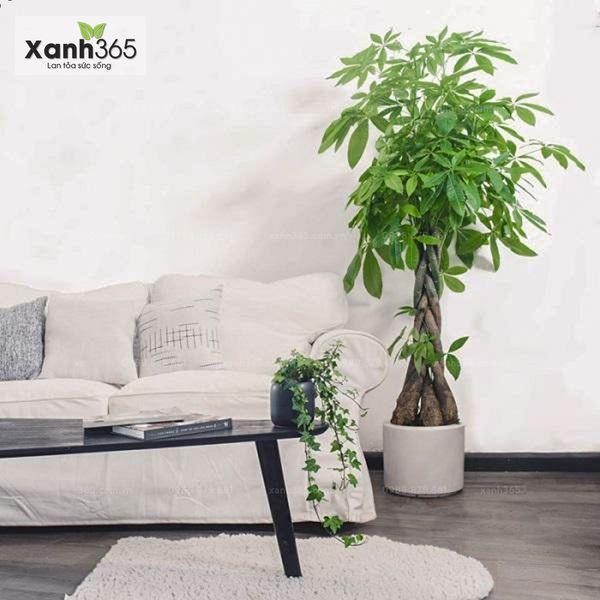 Vị trí đặt cây phỏng thủy trong nhà